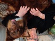 Australian Shepherd Red-Tri Deckrüde - Donauwörth