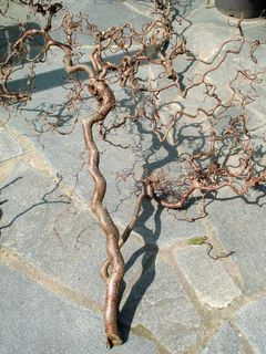 Zweige vom Korkenzieherhasel für Voliere, Terarium, Dekoration - Soest Zentrum