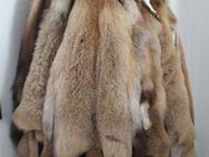 Sehr schöne gepflegte Rotfüchse günstig abzugeben Preis: 800 € - Iserlohn