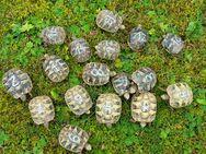 Gieische Landschildkröten Nachzuchten 2020 - Netphen