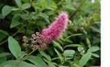 Spierstrauch, Kolbenspiere rosa blühend