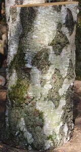 Birken-Hackklotz ums eigene Brennholz zu hacken oder den Hühnern den Kopf ab; Hauklotz
