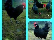 Bruteier Französischen Barbezieux XXL Eier Leger hatching eggs - Sendenhorst