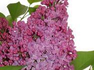 Flieder gefüllt, violett blühend - Soest