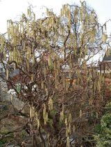 Zweige vom Korkenzieherhasel für Voliere, Terarium, Dekoration