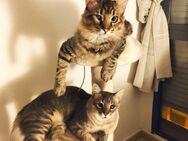 GOHAN UND GOKU - Süße Katzenkinder - sehbehindert - man wollte die Beiden nicht mehr, da sie zu viel Lebensfreude haben - unfassbar! - Oberhausen