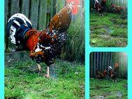 Bruteier Reinrassige Schwedische Blumenhühner hatching eggs - Sendenhorst Zentrum