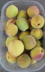 Weinbergpfirsich Früchte aus natürlicher Ernte; einheimische Pfirsiche