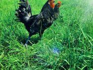 Bruteier von Bresse Gauloise in Blau Reinrassig hatching eggs - Sendenhorst Zentrum