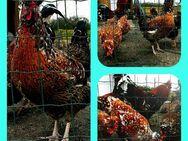 Bruteier Reinrassige Schwedische Blumenhühner mit Haube ( hatching eggs ) - Sendenhorst Zentrum