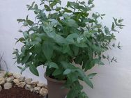 Eukalyptus-Pflanzen - Wiesbaden